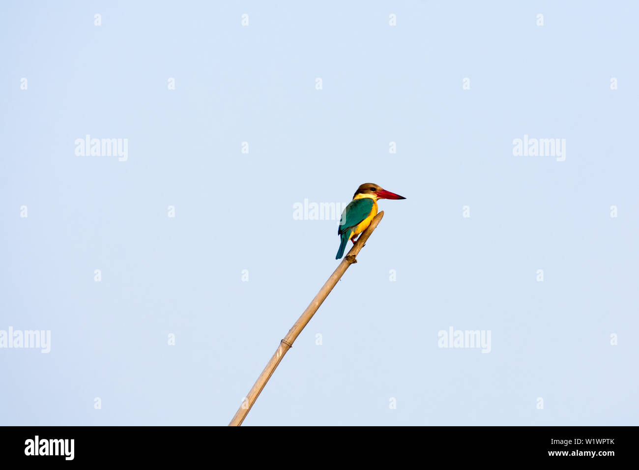 Closeup of a medium sized colorful solitary Kingfisher (Alcedo atthis) Sitting on a Bamboo waiting to catch a fish against clear sky. Bharatpur Bird S - Stock Image