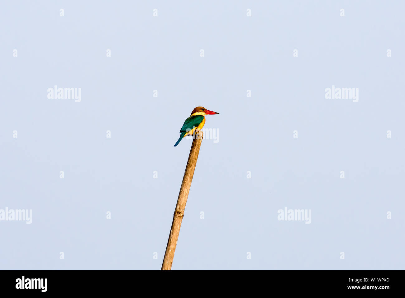 A medium sized multi-colored common Kingfisher bird Sitting on a Bamboo waiting to catch a fish. It is beautiful water bird found in India. Bharatpur - Stock Image