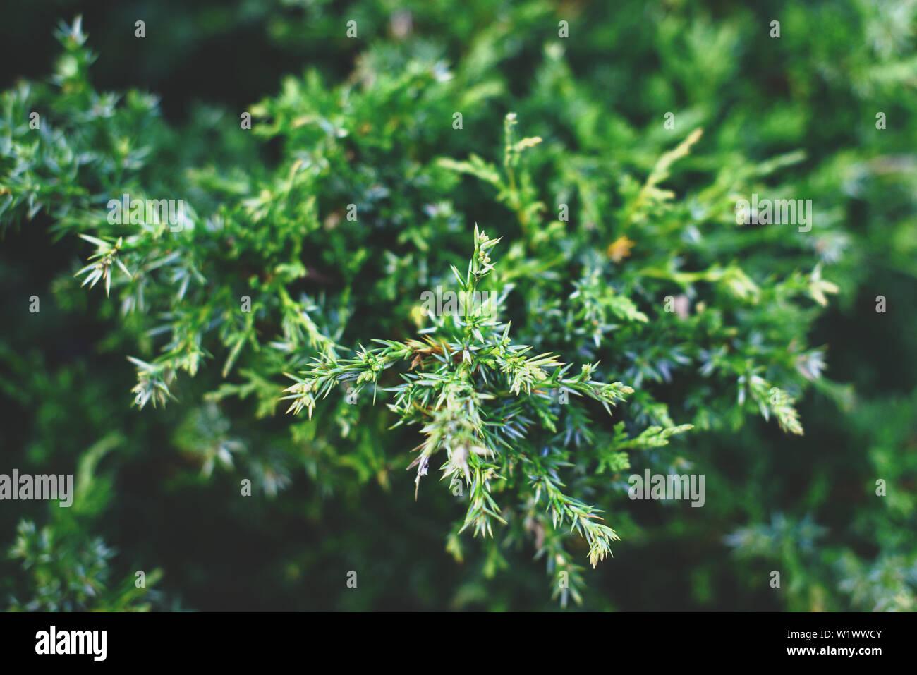 Thuja tree branches, thuja evergreen coniferous tree. Stock Photo