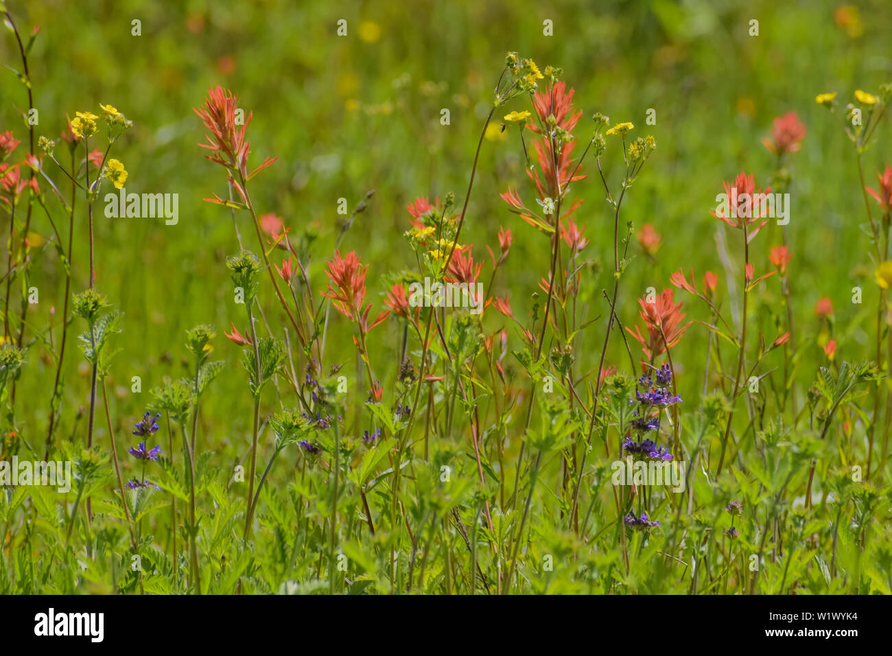 Beautiful red Indian Paintbrush and purple Lupine native wildflowers blooming in a grassy California meadow - Stock Image