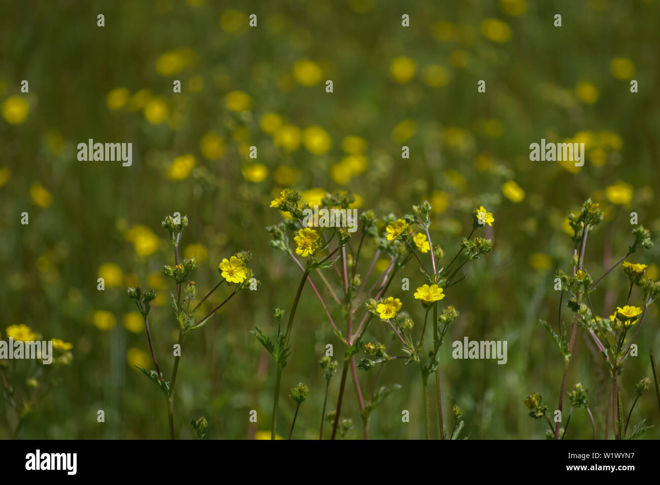 Bright yellow wildflowers in a grassy meadow. - Stock Image