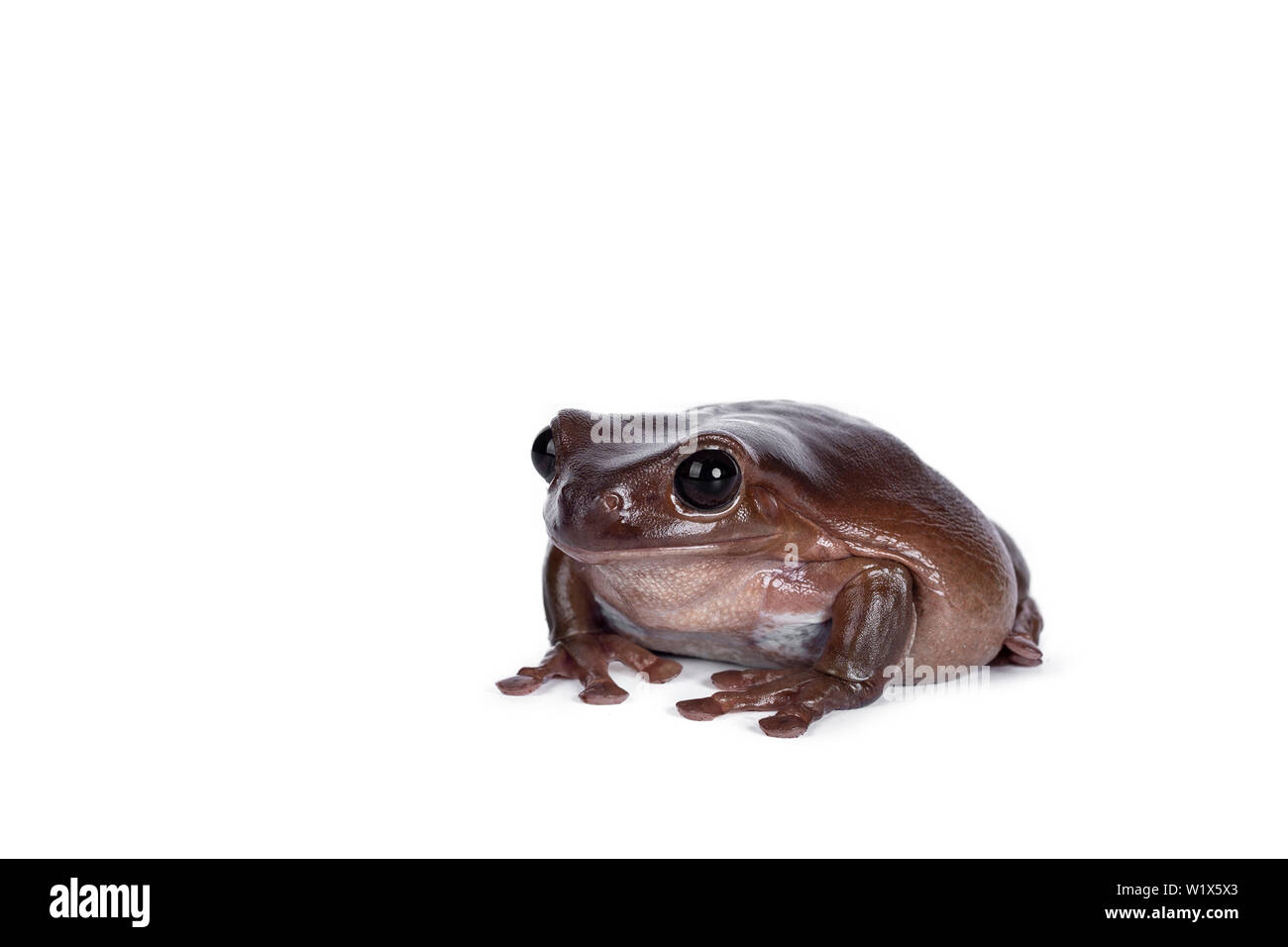 Cute brownish Australian green tree frog sitting side wards, looking straight ahead. Isolated on white background. Stock Photo