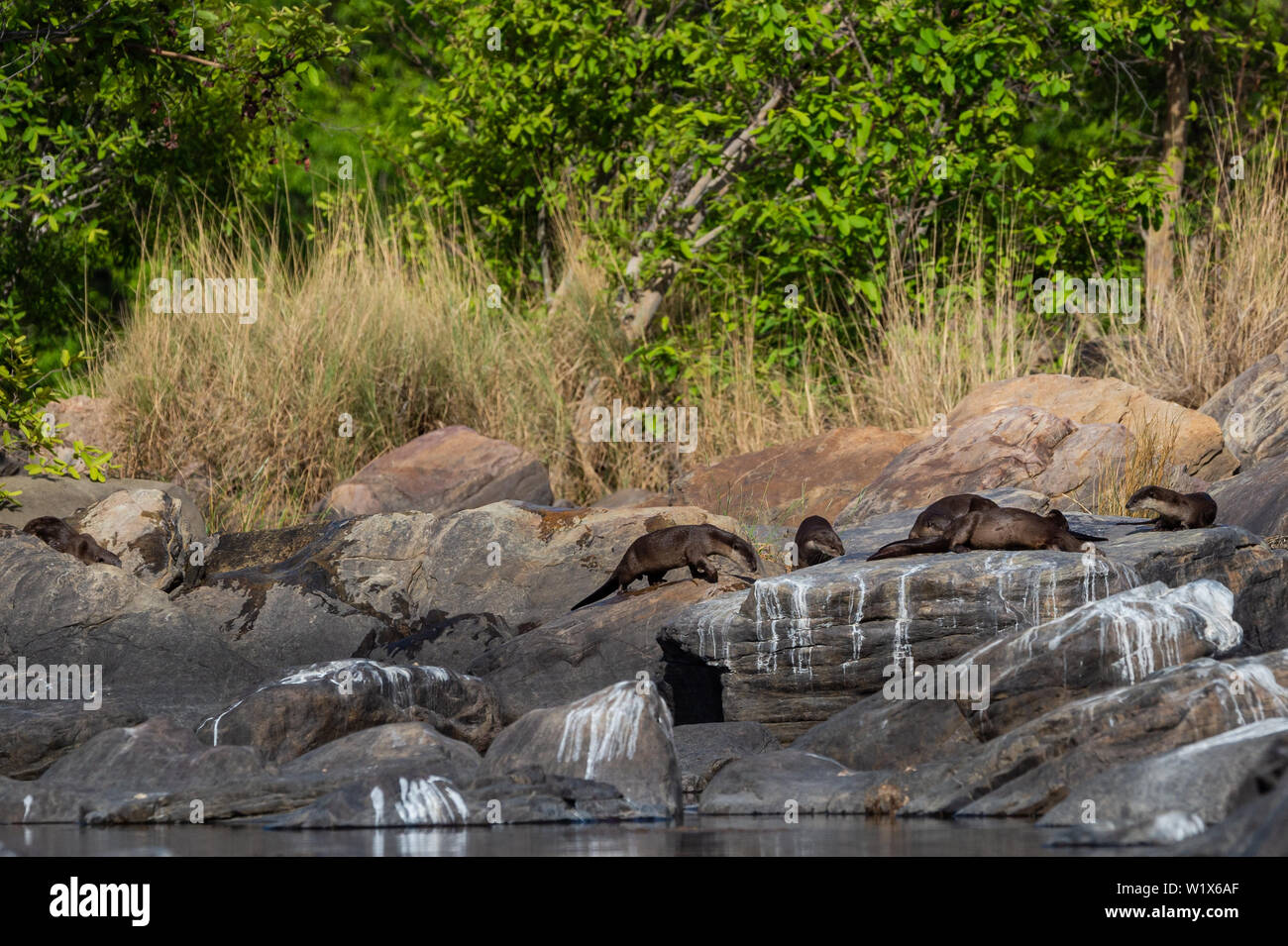 Smooth-coated otter (Lutrogale pers) family basking in sun on rocks after taking dip in water of chambal river at rawatbhata, kota, rajasthan, india - Stock Image