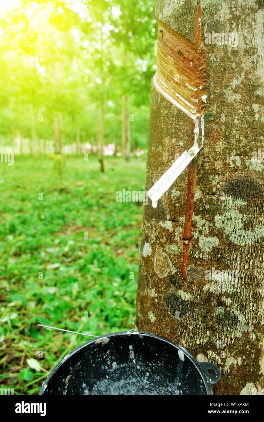 Rubber plantation in Thailand Abundant. Rubber production. - Stock Image