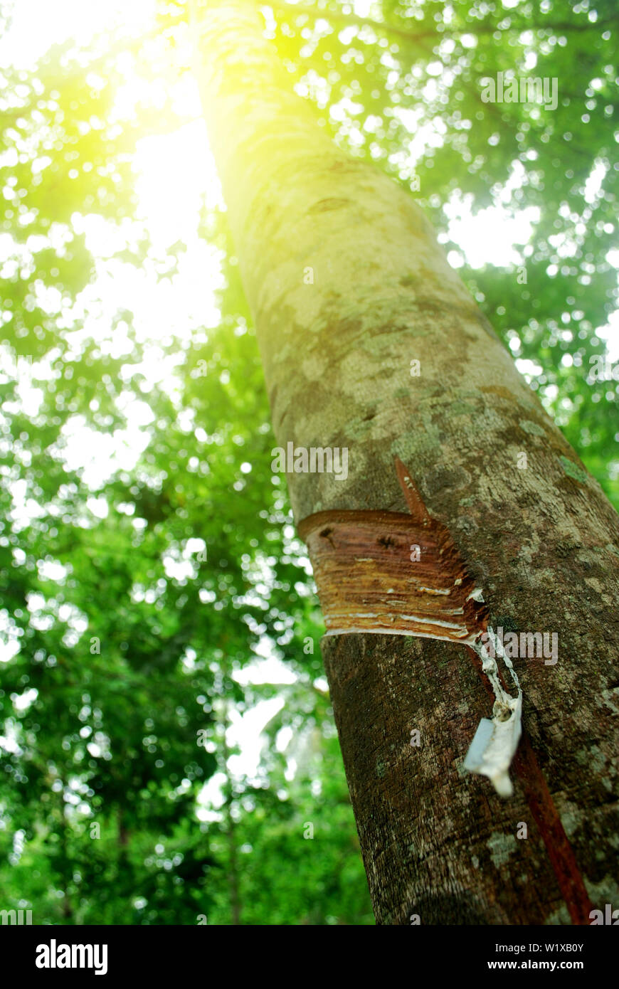 Rubber plantation in Thailand Abundant. Rubber production. - Stock Image