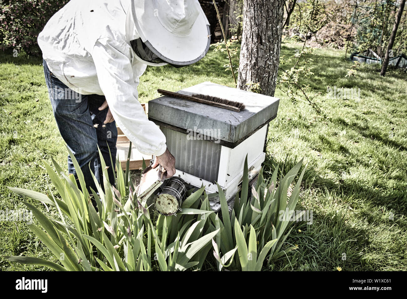 Commercial beekeeper at Work, Cleaning and Inspecting hive, looking for dead brood removal. Authentic scene of life in nature. Hive management - Stock Image