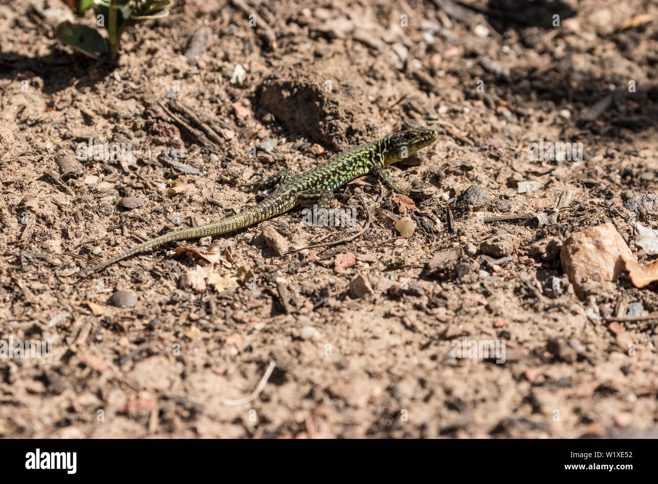 A green reticulated common wall lizard on a boulder ground in the sunshine. Frankfurt am Main. - Stock Image