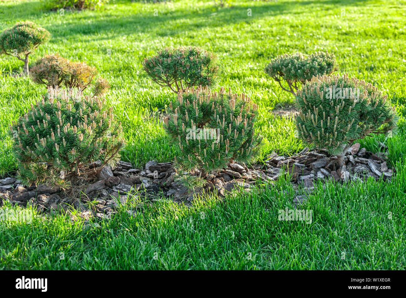 Dwarf pine on a background of green grass. Sunshine sunset - Stock Image