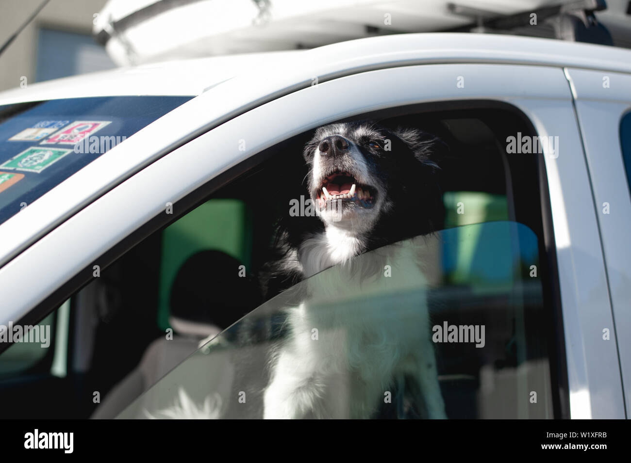 Dog pokes its muzzle out of the car window. Black and White Border Collie in car in hot summer. - Stock Image