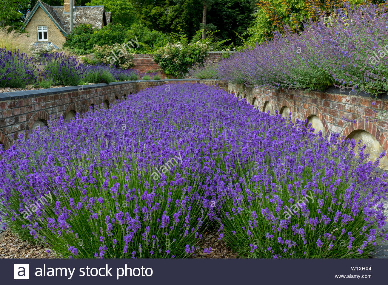 A drift of English Lavender, in the gardens of Blenheim Palace, Oxford, UK - Stock Image