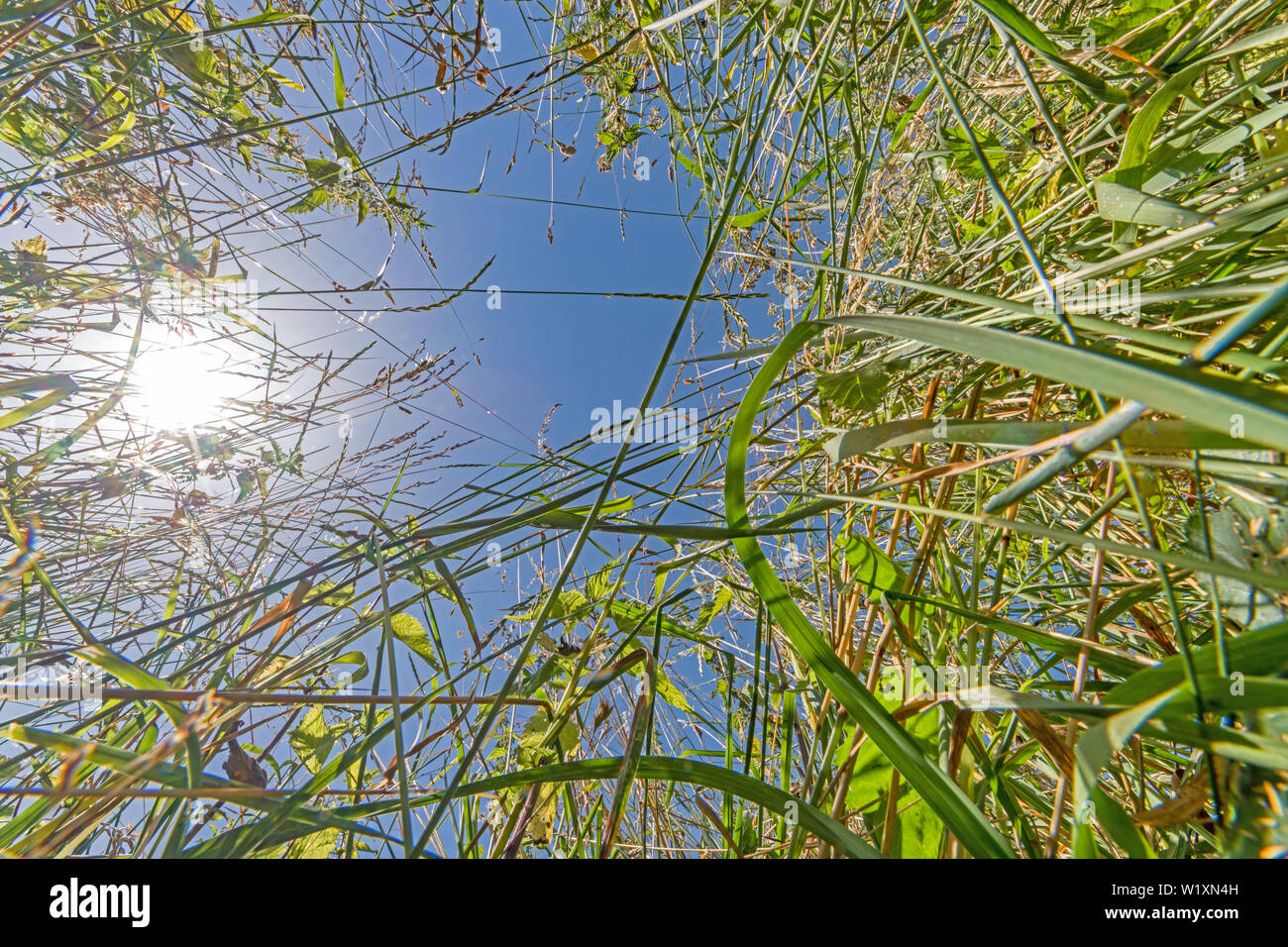 Summer meadow from the frog's perspective with blue sky and bright sun - Stock Image