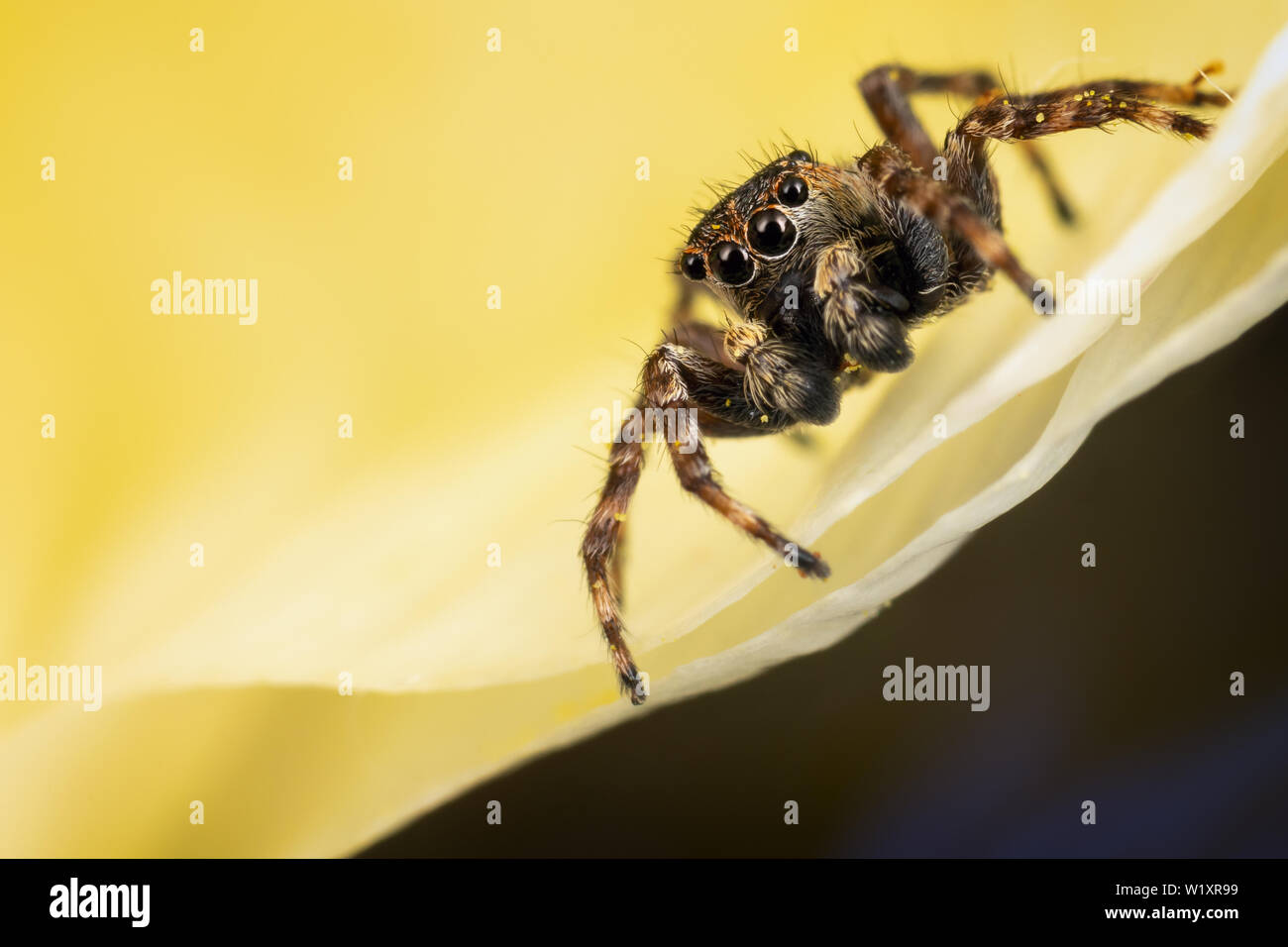 A brown jumping spider on the yellow petal in the yellow background - Stock Image