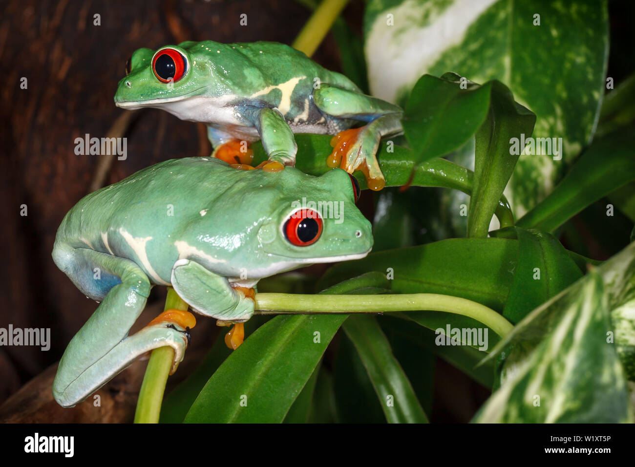 Two red eyed tree frogs playing betweens plants in the terrarium Stock Photo