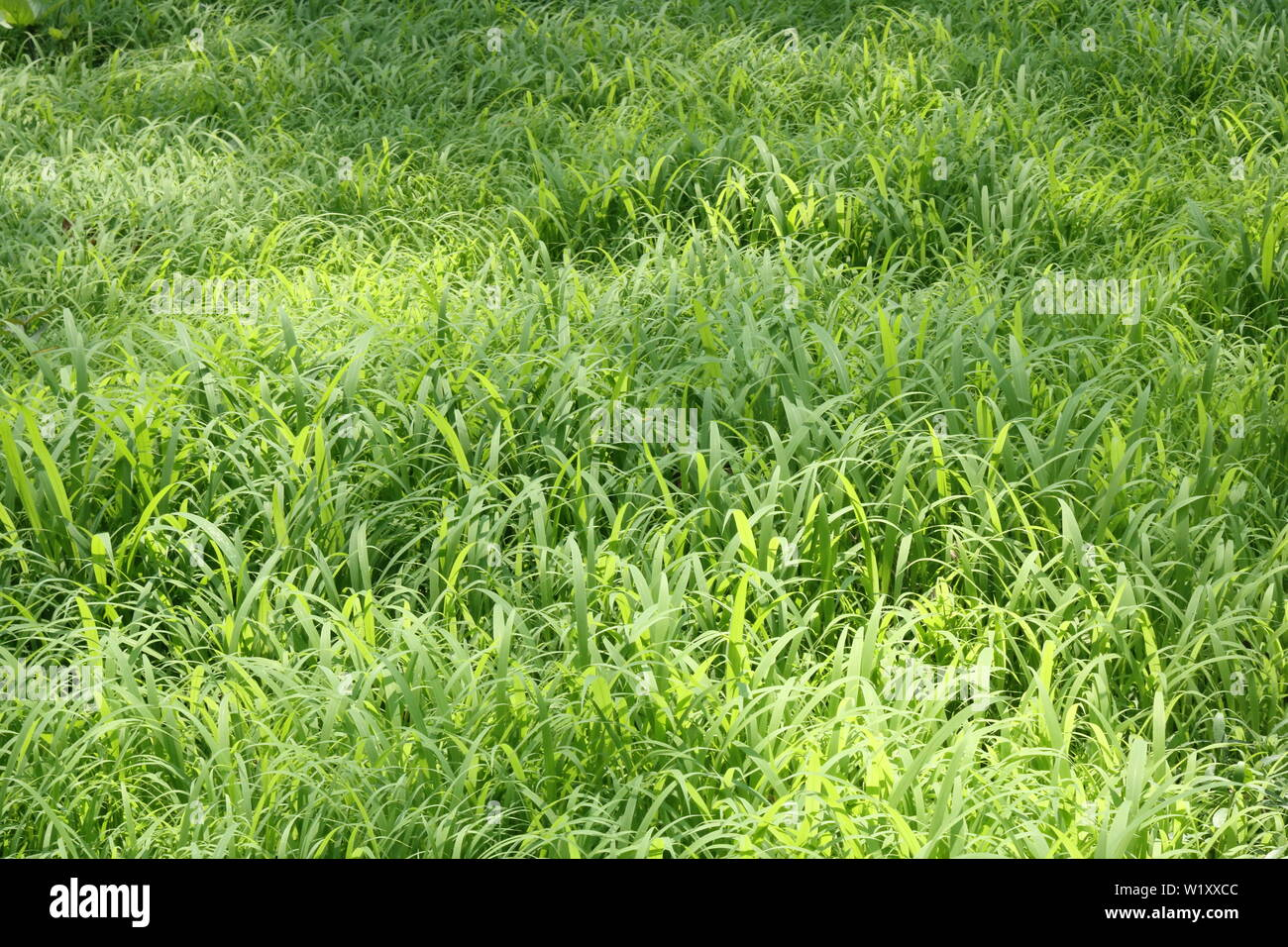 Large Grasses Field With Broken Sunlight Stock Photo 259361660
