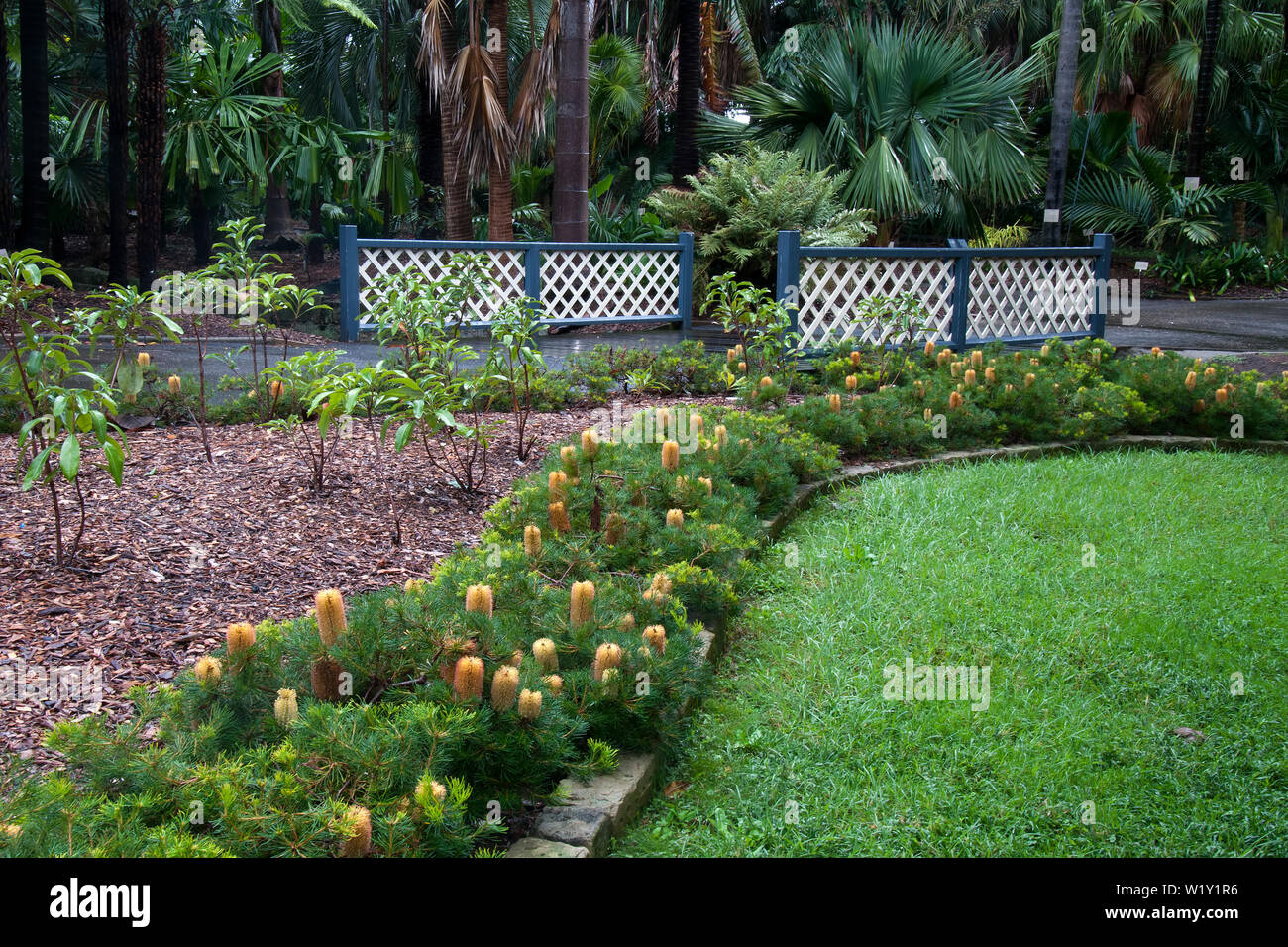 Sydney Australia, view of garden bed using a dwarf banksia as a border hedge - Stock Image