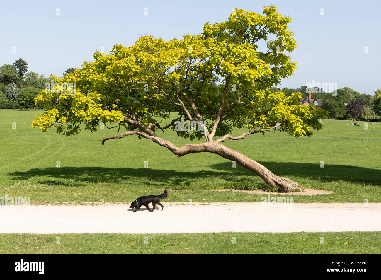 black dog next to leaning tree in Crystal Palace park Stock Photo