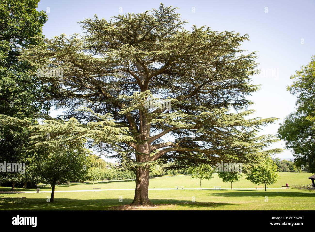 beautiful big cedar tree in Crystal Palace park Stock Photo