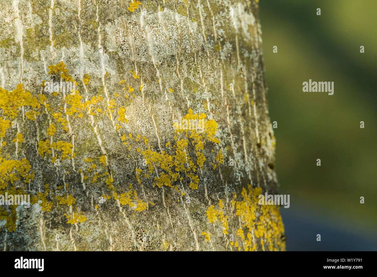close up of a bark with yellow  and white moss and a blurred background - Stock Image