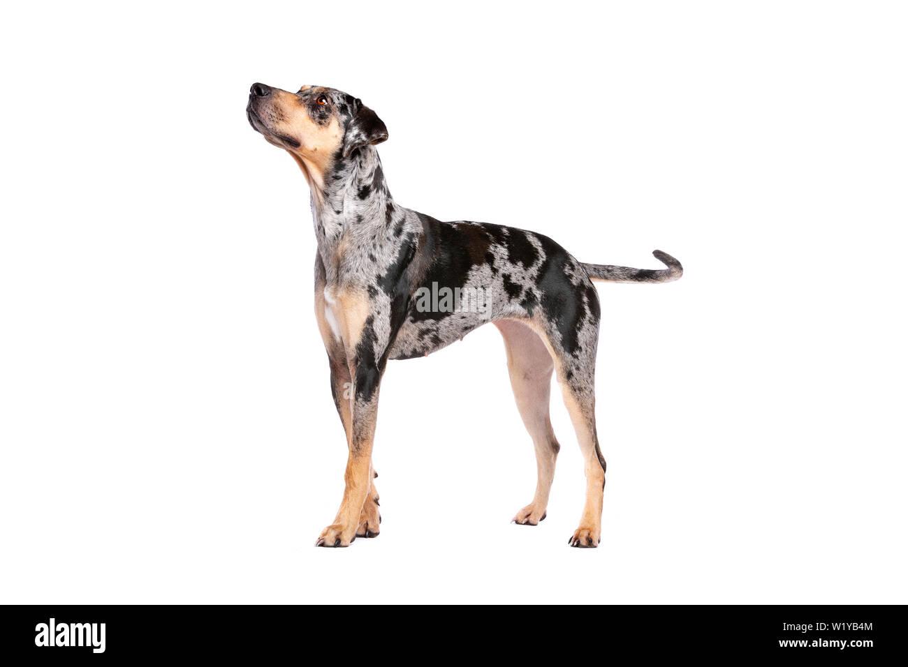 Catahoula Leopard Dog Stock Photos & Catahoula Leopard Dog Stock