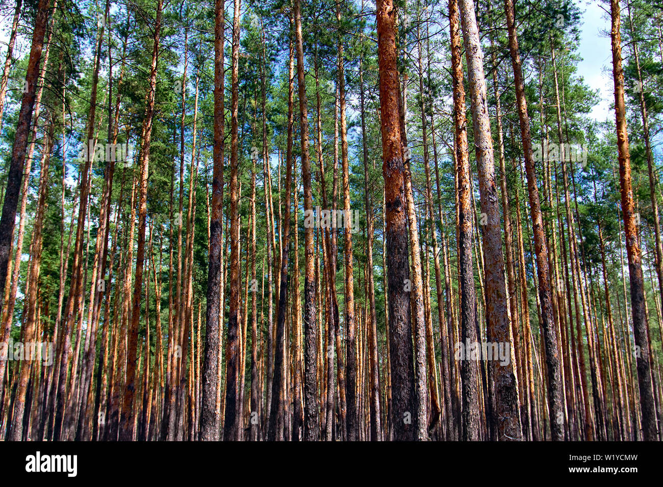young pine forest close-up as background - Stock Image