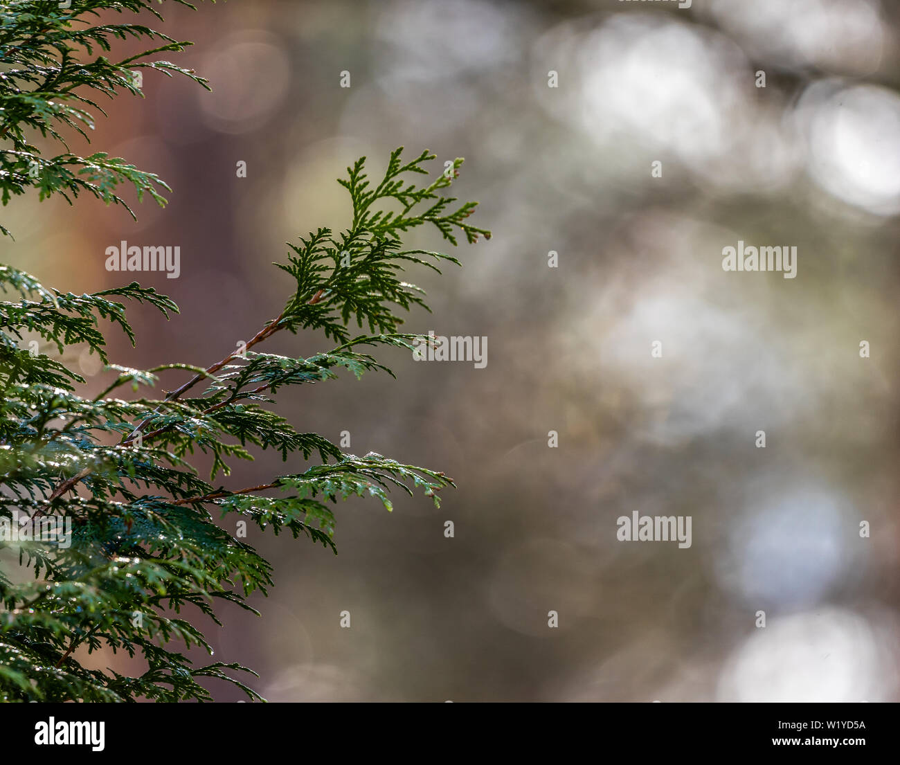 Abstract image of a branch of a juniper against an unsharp background with bokeh, much copy-space, background - Stock Image
