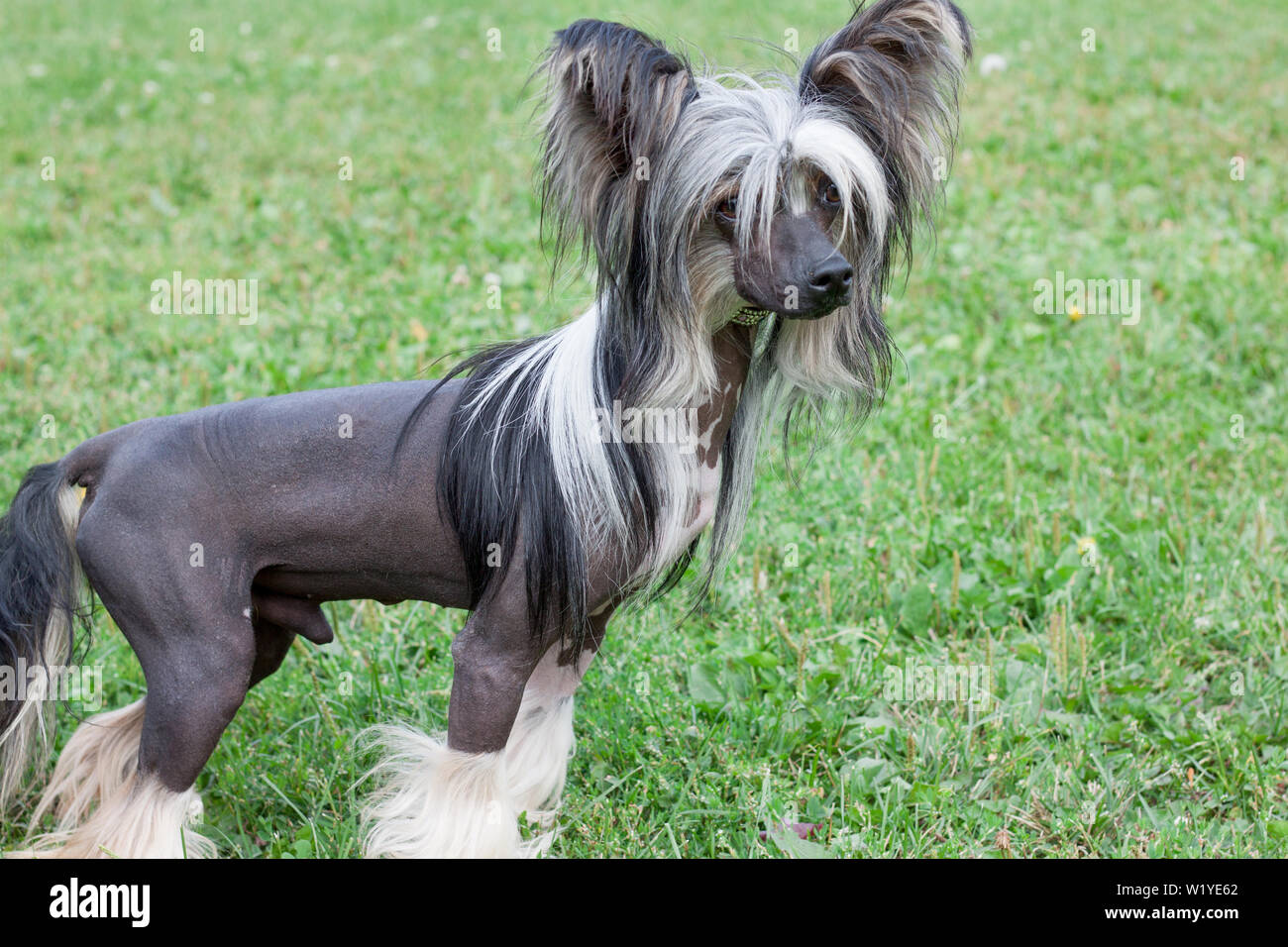 Hairless Dog Breeds Stock Photos & Hairless Dog Breeds Stock Images