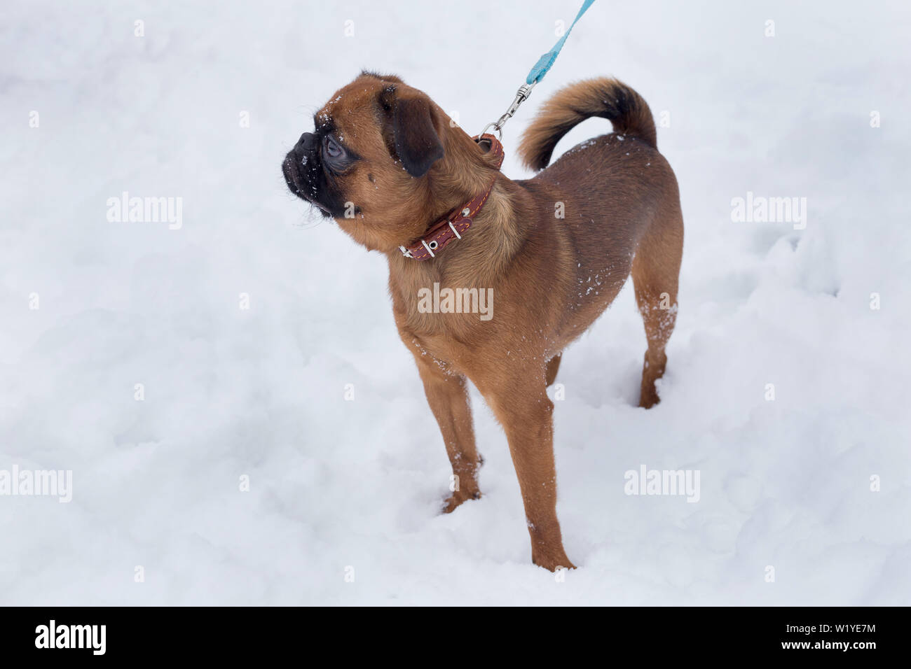 Cute petit brabancon puppy is standing on a white snow. Pet animals. Purebred dog. - Stock Image