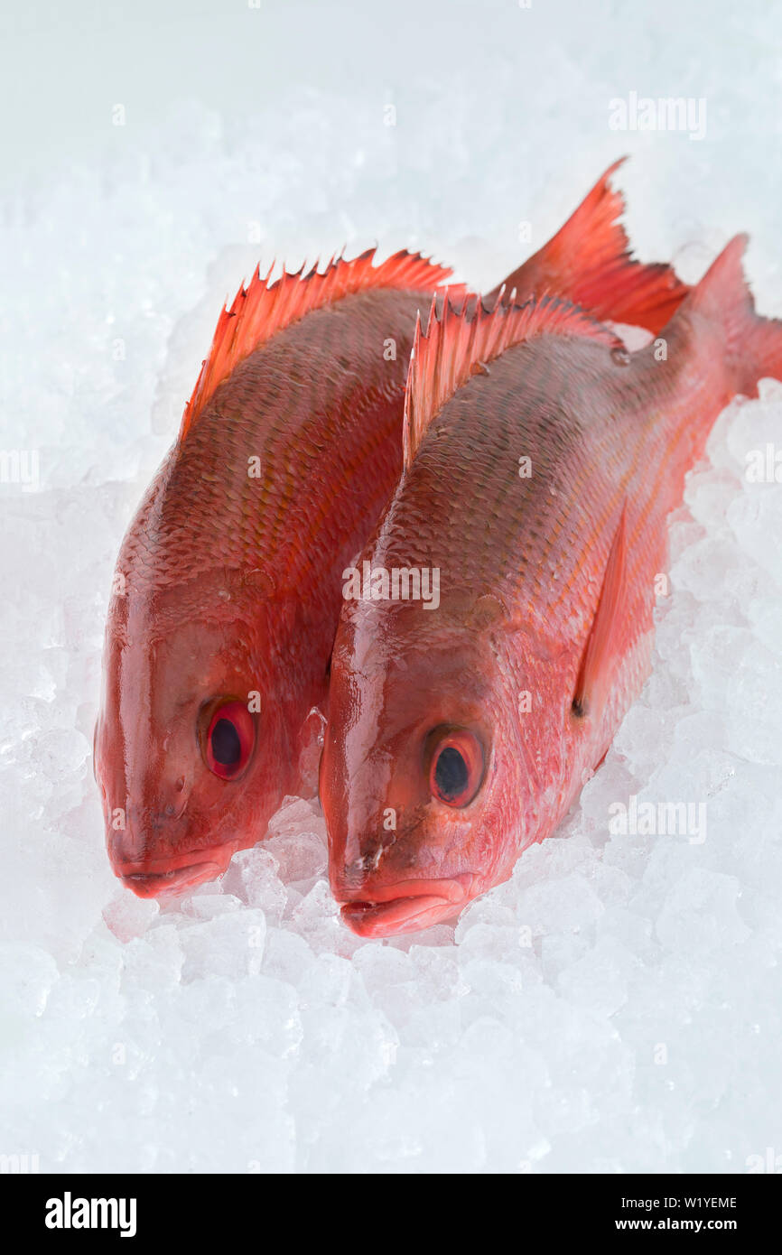 Two fresh raw Northern red snappers on ice Stock Photo