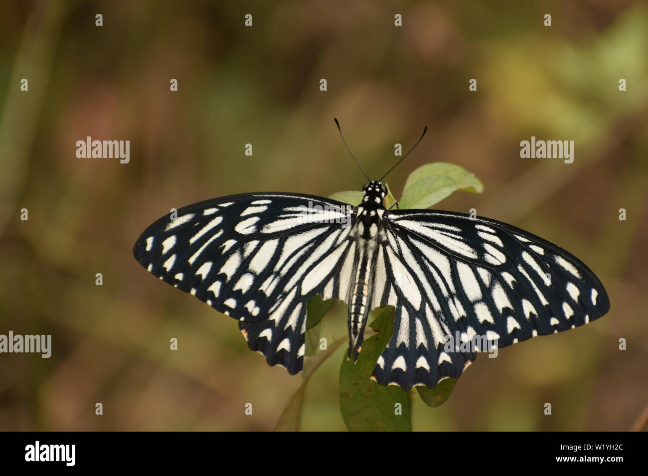 beautiful common mime male ( papilio clytia) butterfly . - Stock Image