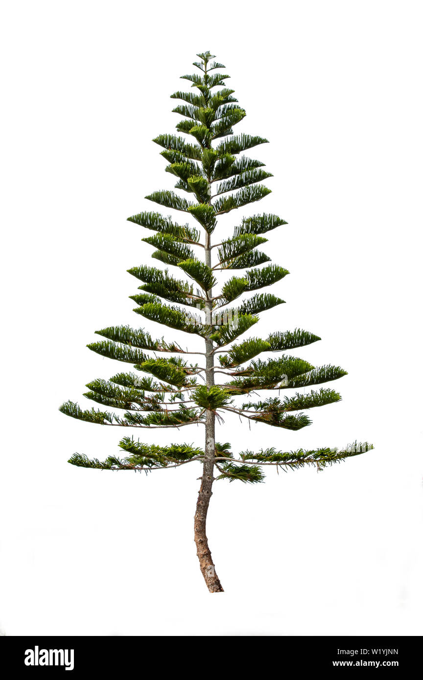 Pinus on a white background with clipping path. Stock Photo