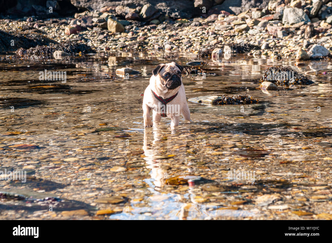 A cute pug standing in the water on a walk by the beach - Stock Image