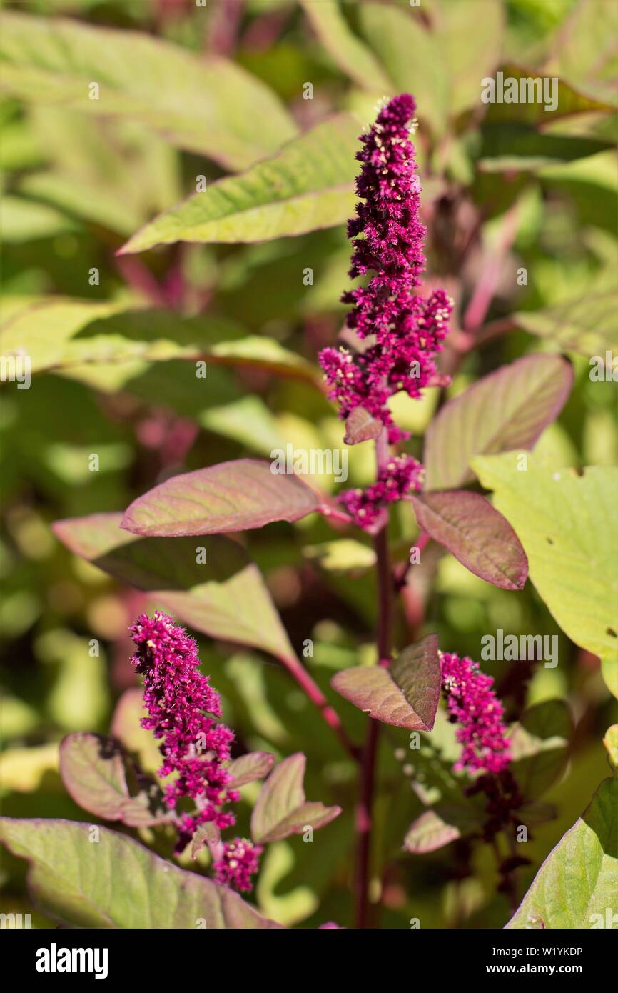 Amaranthus (amaranth), growing at Luther Burbank Home and Gardens in Santa Rosa, CA, USA. - Stock Image