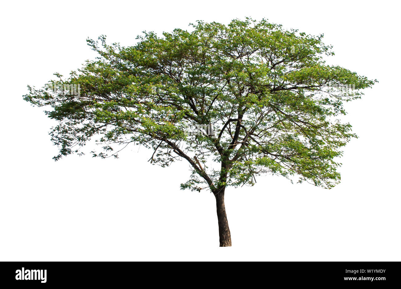 Isolated Bright green tree on a white background with clipping path.Isolated Bright green tree on a white background with clipping path. - Stock Image