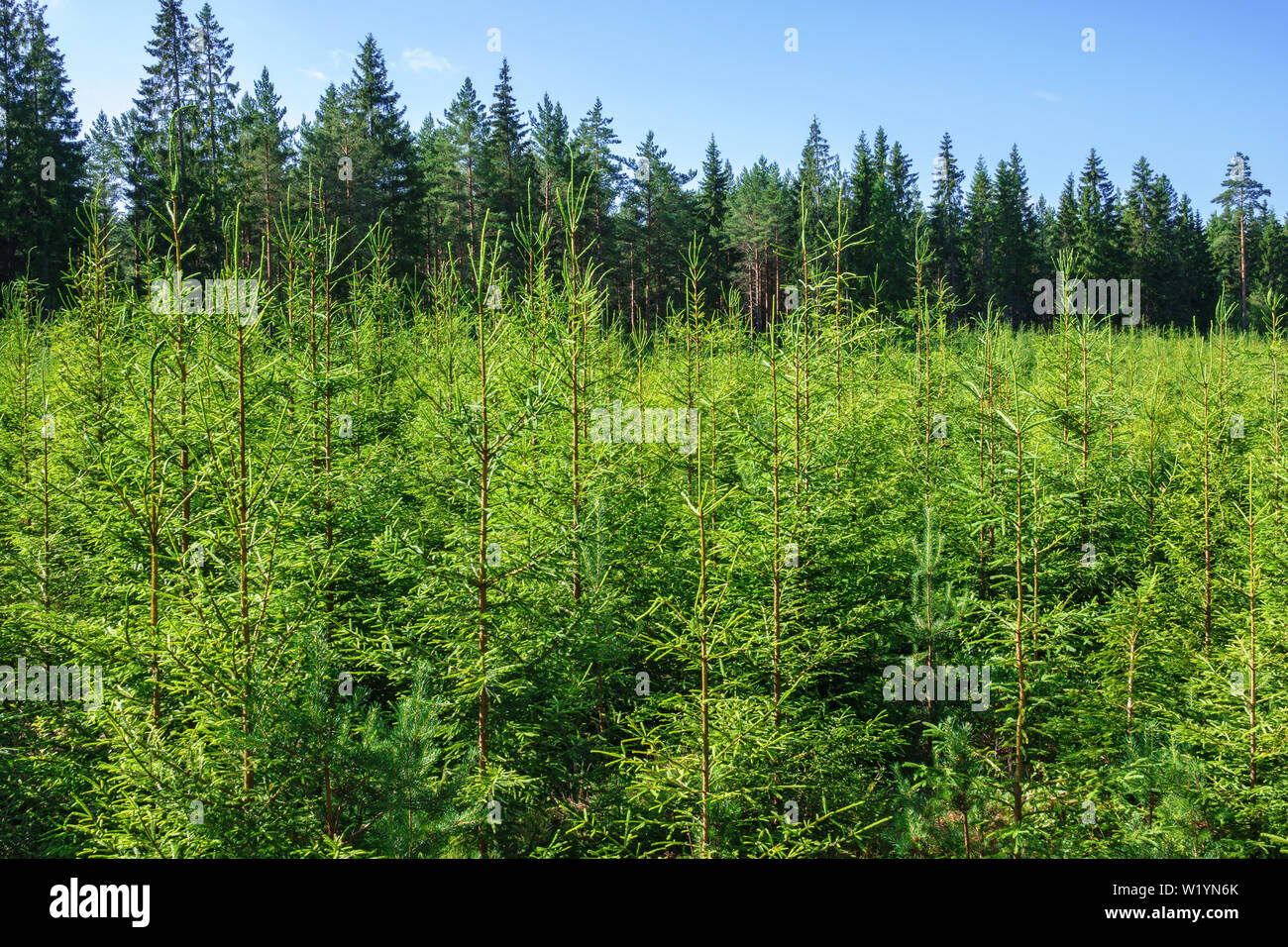 Spruce plantation in a woodland in the summer - Stock Image