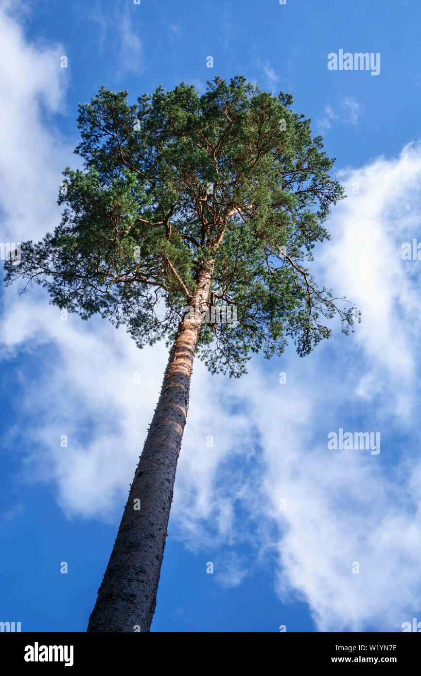High Pine tree against the summer sky - Stock Image