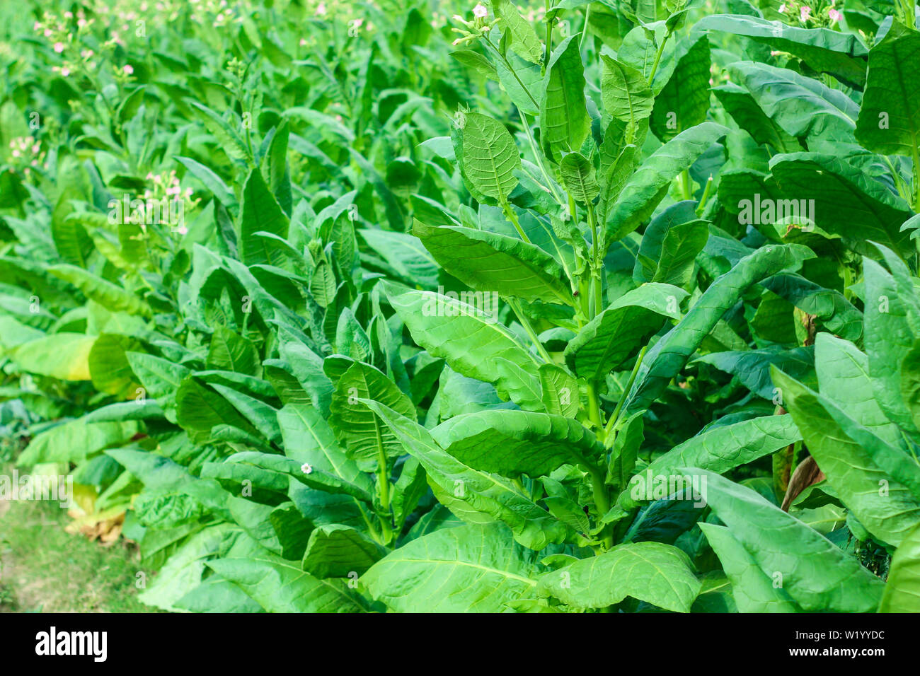 the tobacco leaves are green in a tobacco field - Stock Image