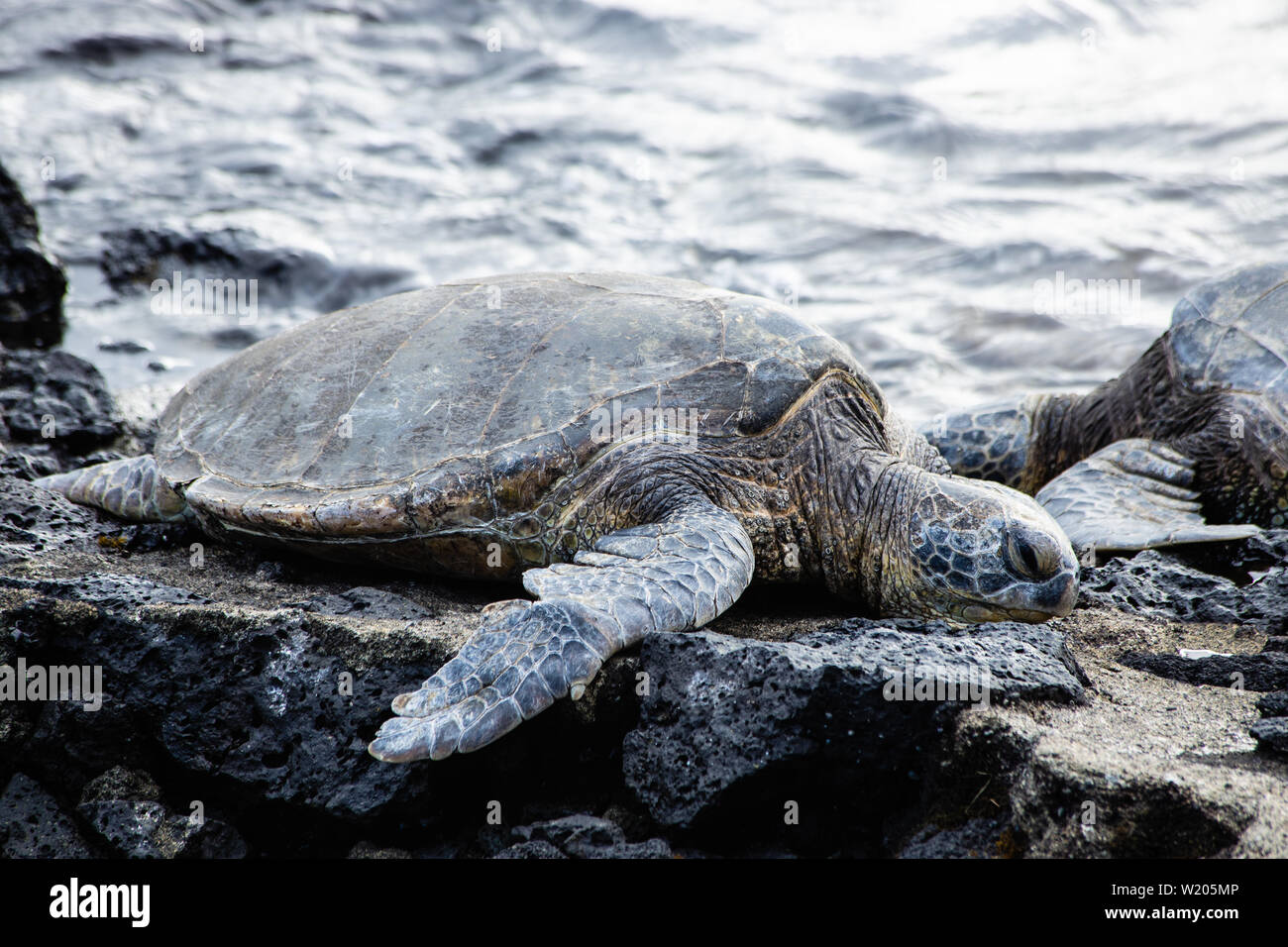 Endangered sea turtles sunning themselves on a rocky shoreline Stock Photo