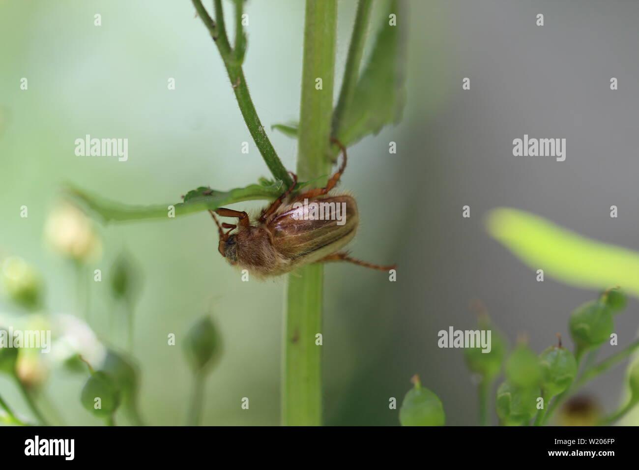 Maikäfer im Garten Stock Photo