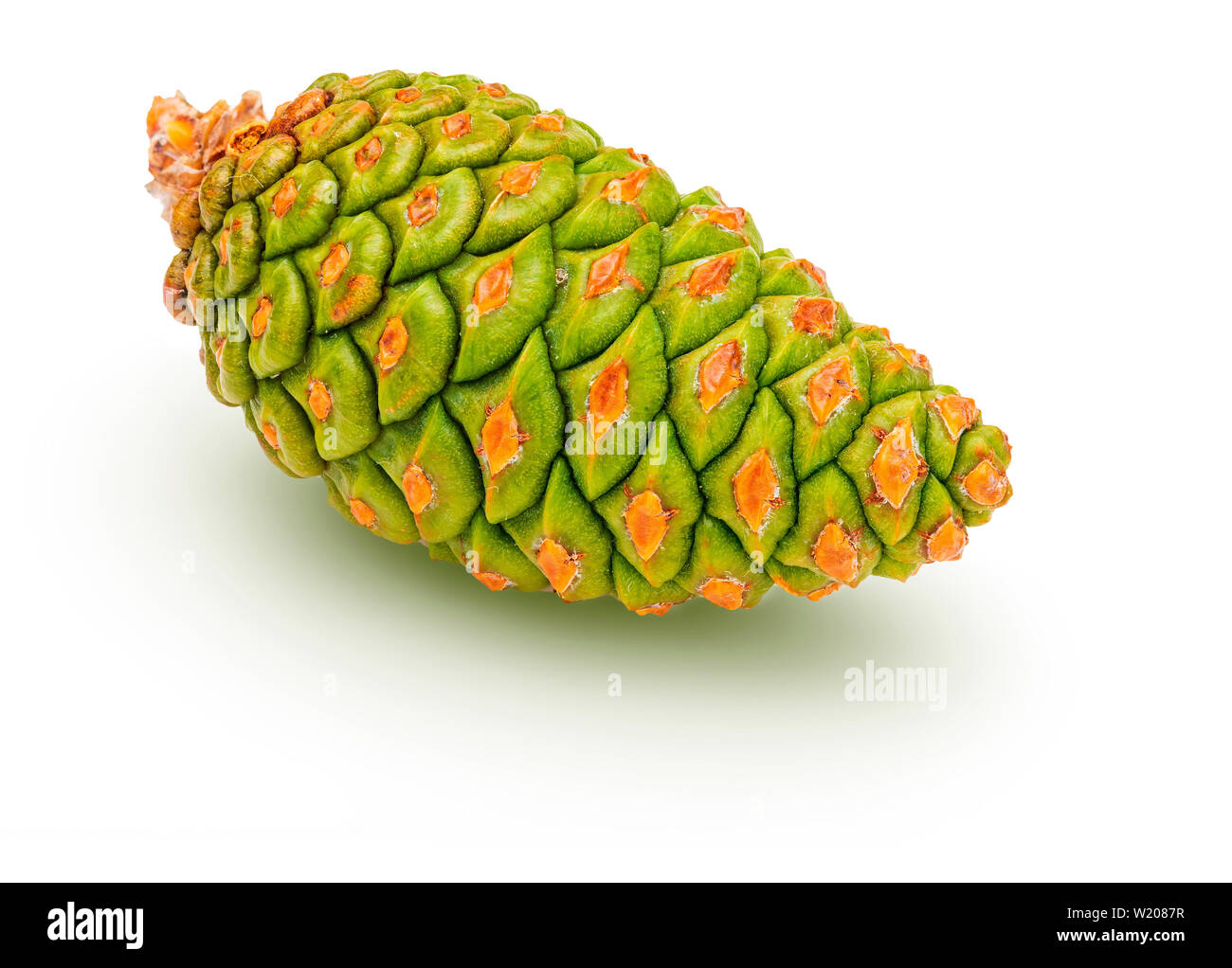 Green cone of wild pine (Pinus Silvestris L.). Isolated on white background. - Stock Image