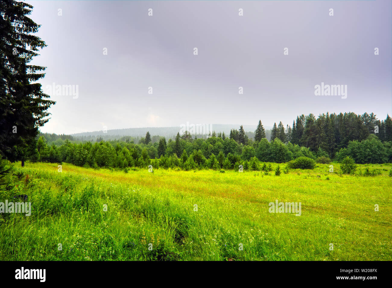 Summer landscape with green grass and wild flowers on the background of a coniferous forest. - Stock Image