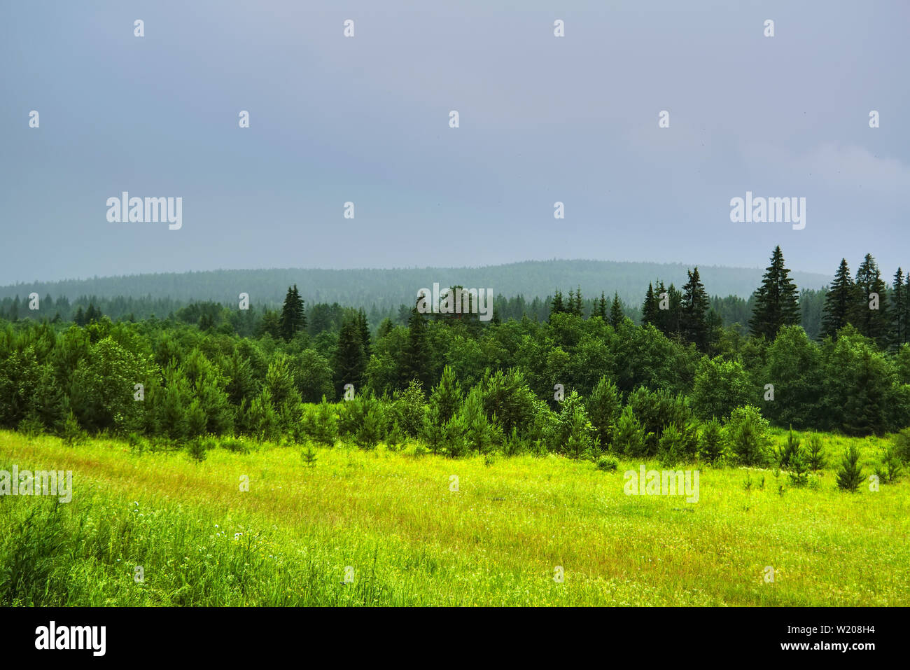 Summer landscape with green grass and wild flowers on the background of a coniferous forest. Stock Photo