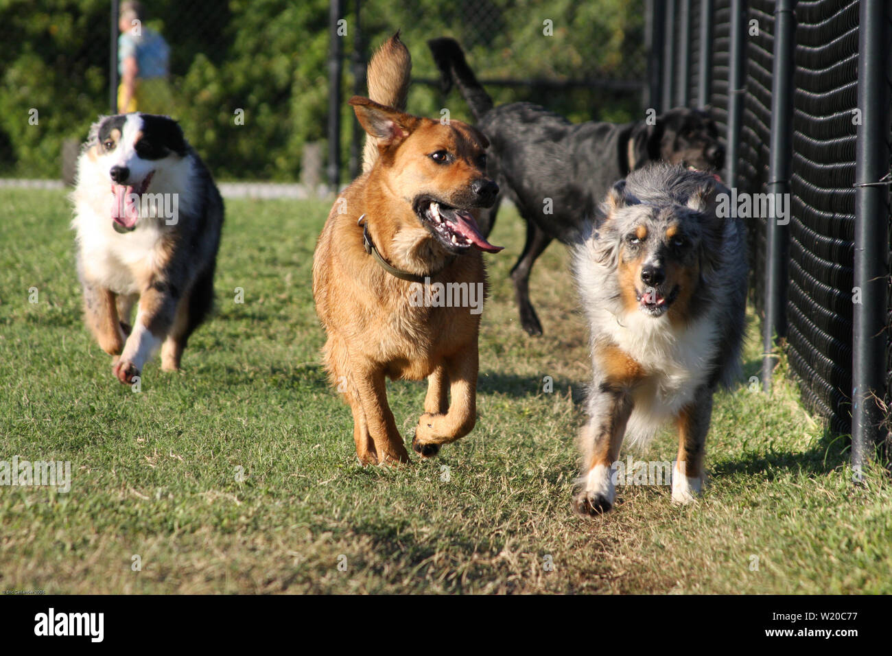 Mixed pack of happy dogs running in a dog park. - Stock Image
