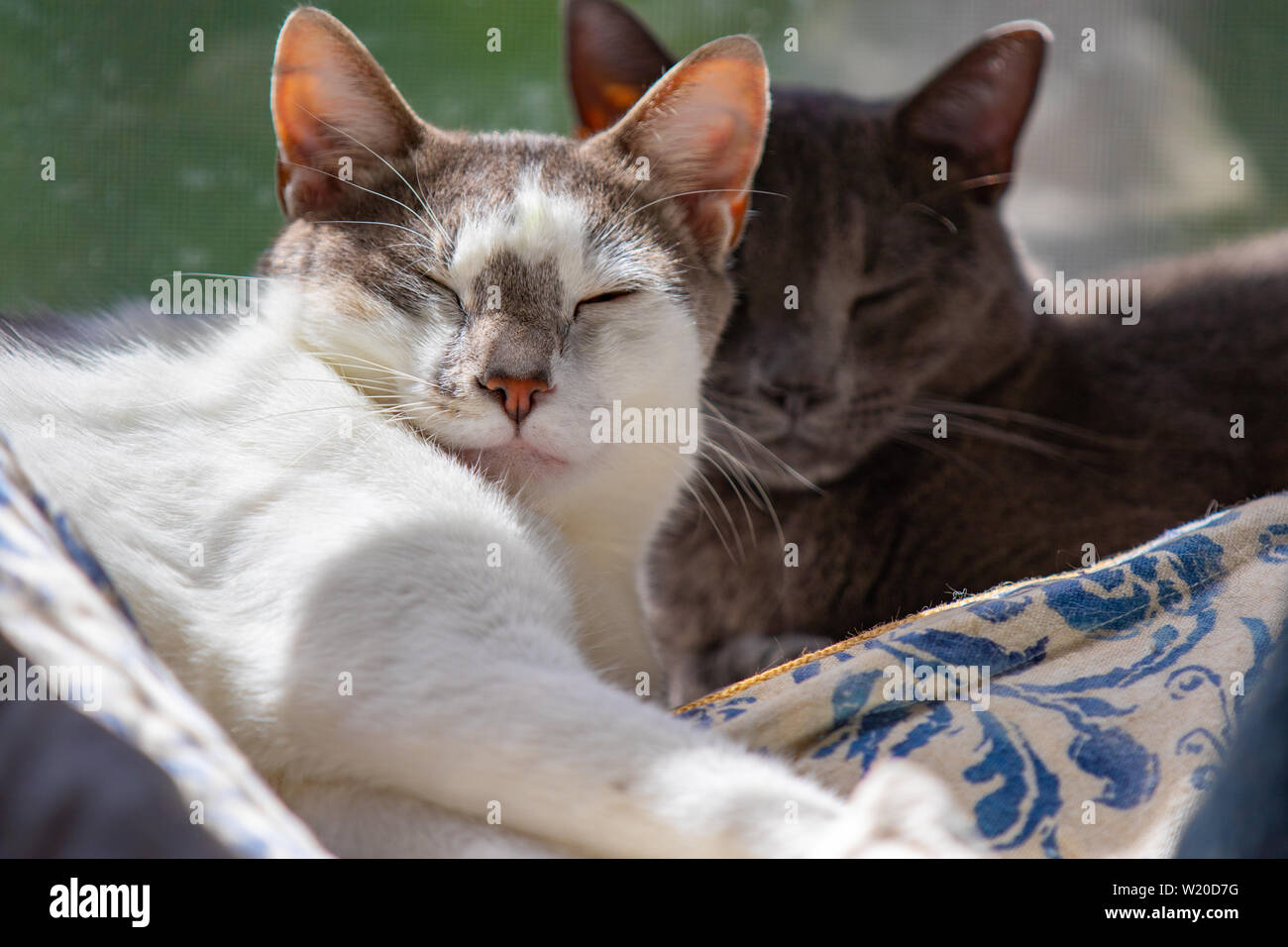 Brotherly love. These two young male cats were from different litters, but adopted together from the Humane Society. - Stock Image