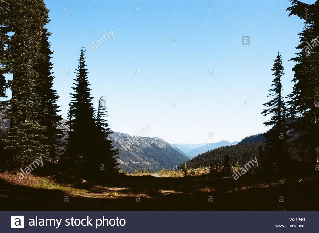 Large pine trees reach toward the sky in front of distant mountains . - Stock Image
