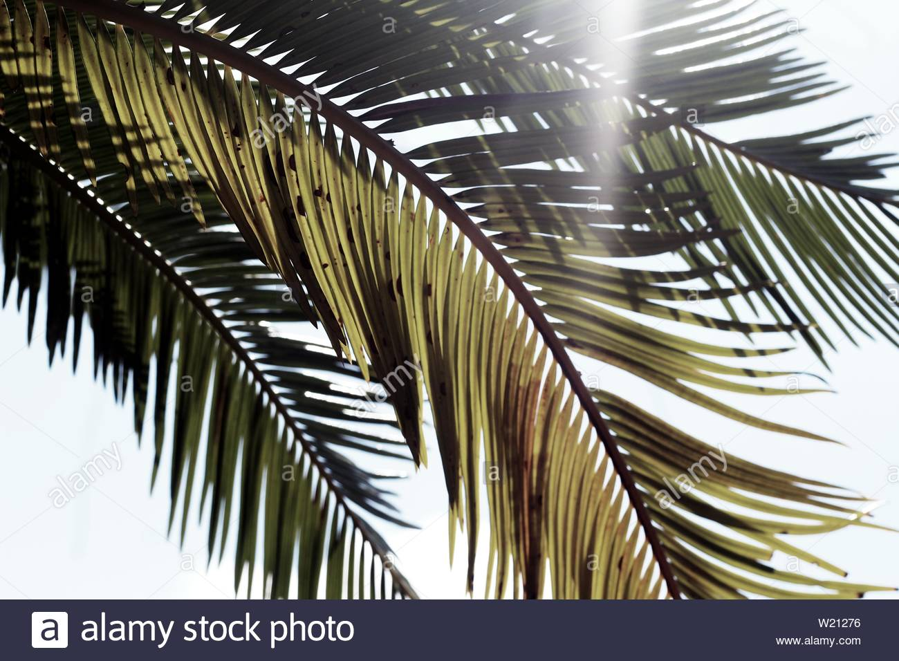 Sunlight streaming through a bunch of palm fronds - Stock Image