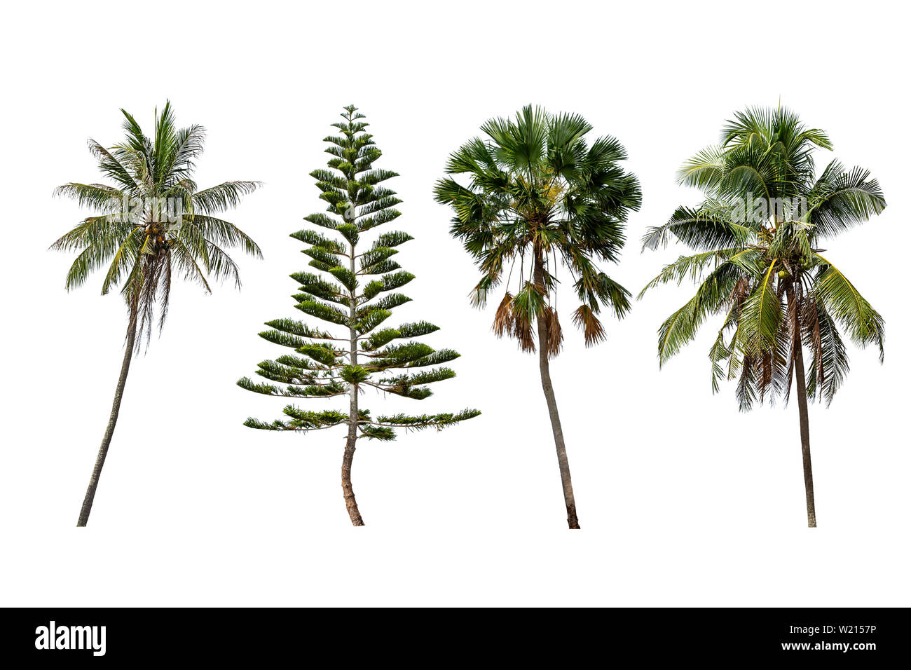Isolated coconut trees , Pinus and Palm trees on a white background with clipping path. Stock Photo