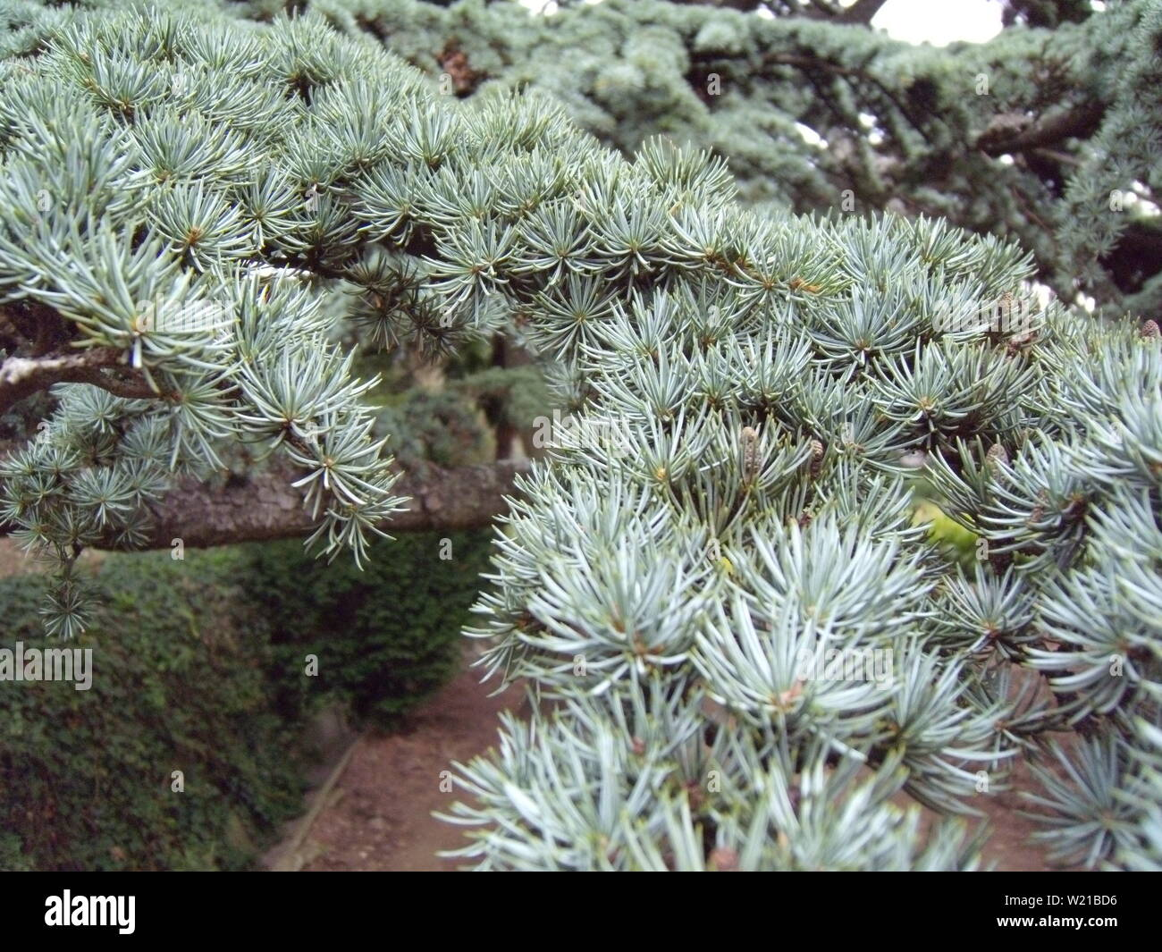 Close-up of a prickly blue spruce branch with cones. Young red fir cones on the branch. - Stock Image