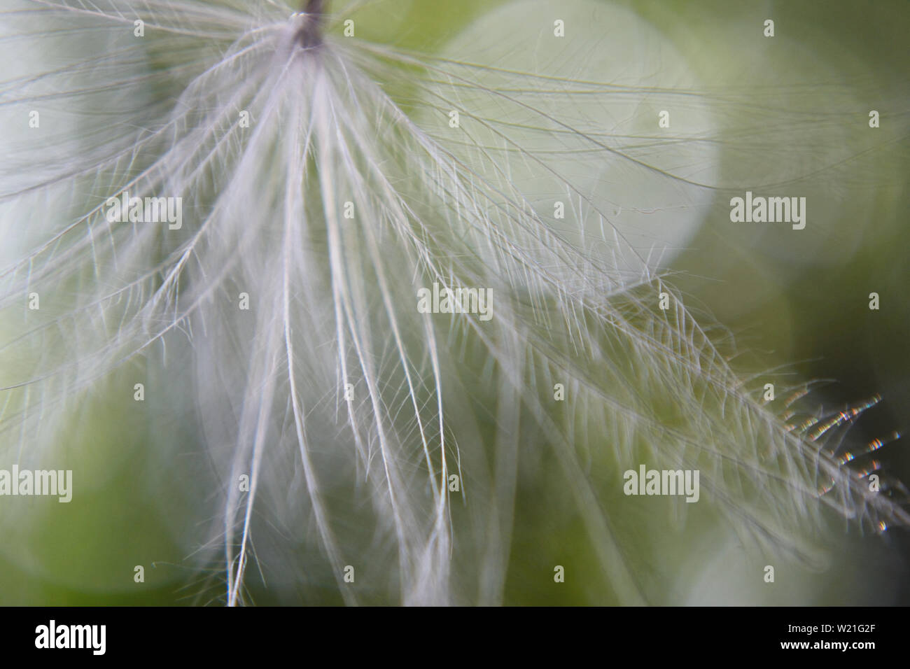 Close up of pappus - Stock Image