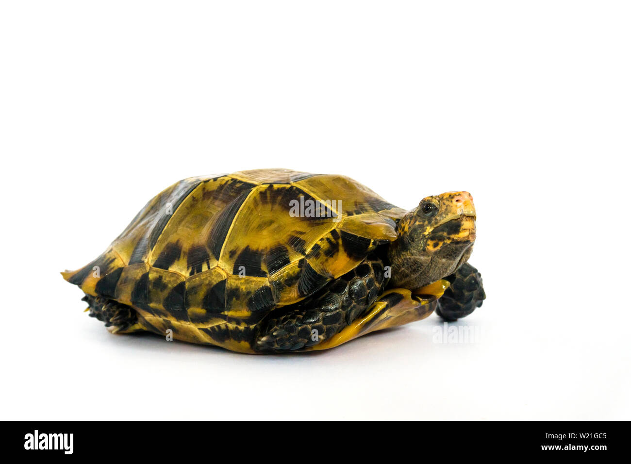 "Inland turtles in Asia are called ""Impressed tortoise, Manouria impressa "" isolated on white background.. Stock Photo"
