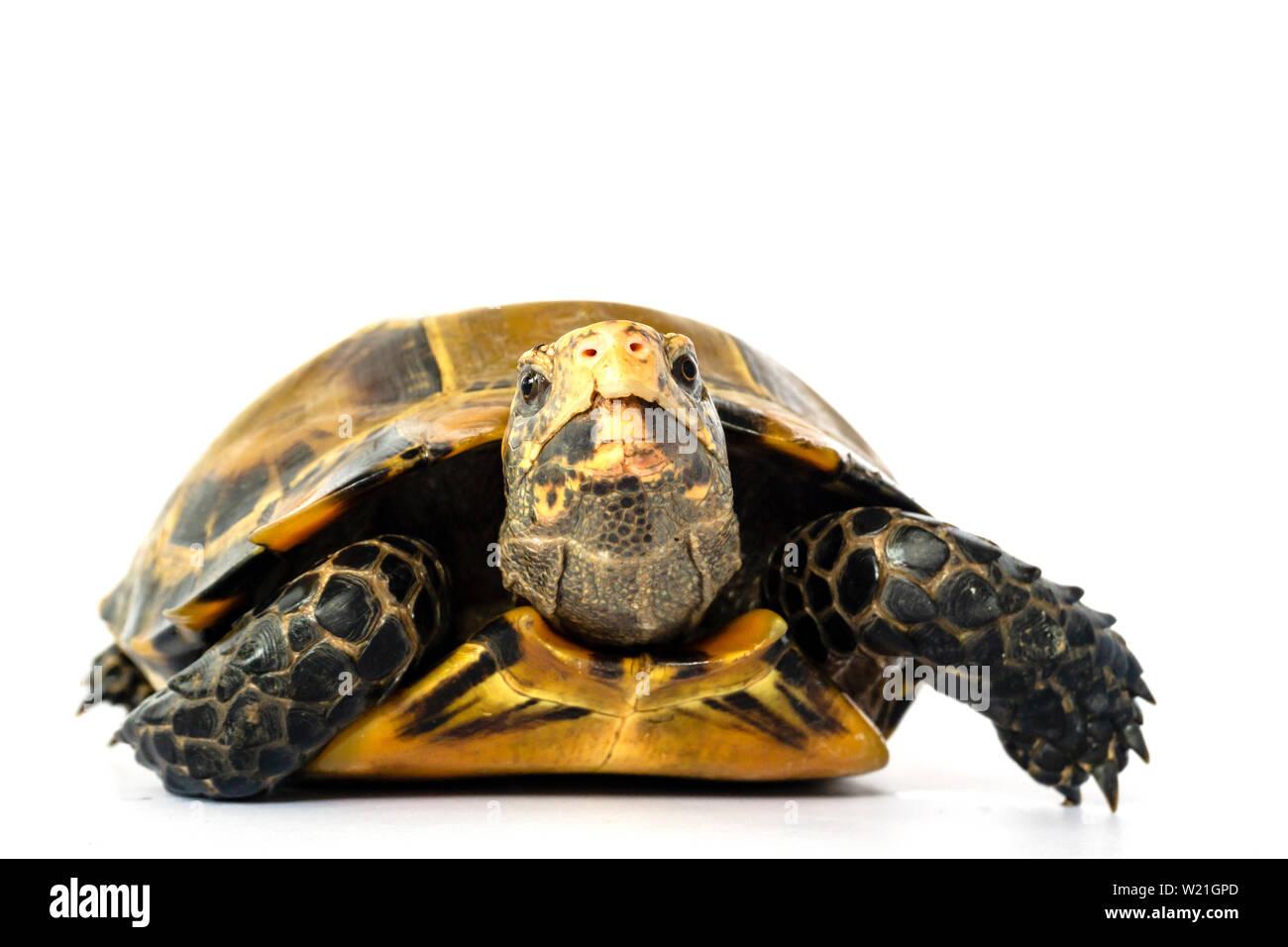 "Inland turtles in Asia are called ""Impressed tortoise, Manouria impressa "" isolated on white background.. Stock Photo"